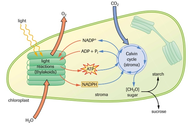 Metabolism photosynthesis sbi4u resource website all reactions involved in photosynthesis take place inside the chloroplasts light reactions in the thylakoid membrane and calvin cycle in the stroma ccuart Choice Image