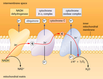 Electron transport chain chemiosmosis sbi4u resource website electron transport chain ccuart Image collections